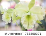thai orchid flowers mixed.... | Shutterstock . vector #783800371