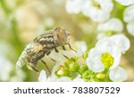 Small photo of hoverfly on alyssum flowers.