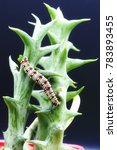 Small photo of Colorful plain tiger caterpillar on Huernia cactus