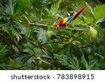 red parrot scarlet macaw  ara... | Shutterstock . vector #783898915
