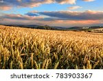 Wheat Field In North Yorkshire...