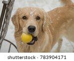 Golden Retriever Playing Ball...