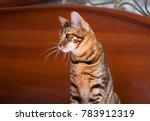 toyger cat close up indoor.... | Shutterstock . vector #783912319