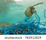 Green sea turtle entangled in a ...