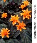 bright orange calathea crocata... | Shutterstock . vector #783932041