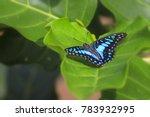 Common Jay  Graphium Doson ...