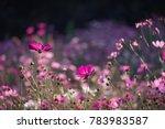 cosmos flower field. beautiful... | Shutterstock . vector #783983587