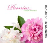 Gentle peonies on the white with space for text - stock photo