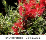 Callistemon Bottle Brush