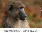 baboon sitting next to the road ... | Shutterstock . vector #784146961