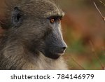 baboon sitting next to the road ... | Shutterstock . vector #784146979