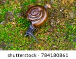 Small photo of Brown glass small air-breathing land snail (Mollusca: Gastropoda: Gastrodontoidea: Oxychilidae: Oxychilinae: Oxychilus draparnaldi) crawling on a rock with green mold, amber shell and blue grey body