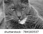 grey cat looking | Shutterstock . vector #784183537