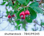 cashew is on the tree. | Shutterstock . vector #784199245