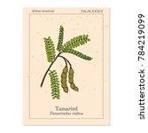 tamarind  tamarindus indica  ...   Shutterstock .eps vector #784219099