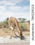 Giraffe Drinking In Etosha...