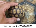 baby tortoise on the hands of... | Shutterstock . vector #784242079