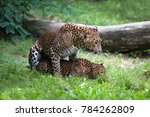 pair of sri lankan leopards... | Shutterstock . vector #784262809