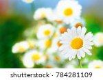Chamomile Flowers Field  In Su...