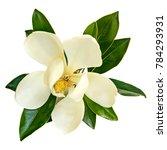 magnolia flower  top view ... | Shutterstock . vector #784293931