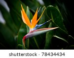 Bird Of Paradise Flower On...