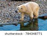 the polar bear  ursus maritimus ...   Shutterstock . vector #784348771