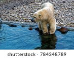 the polar bear  ursus maritimus ...   Shutterstock . vector #784348789