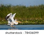 white pelican taking off from... | Shutterstock . vector #78436099