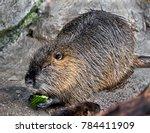 nutria eating cucumber.   latin ...   Shutterstock . vector #784411909