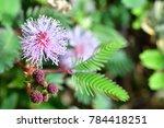 mimosa pudica   mimosa pigra ...   Shutterstock . vector #784418251