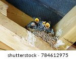 Young Barn Swallows  Hirundo...