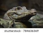 Dwarf crocodile  osteolaemus...
