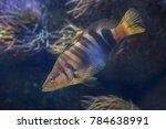 painted comber  serranus scriba ... | Shutterstock . vector #784638991