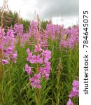 Small photo of Ivan-tea lat. Chamerion is a genus of perennial plants one of willowherb family Onagraceae