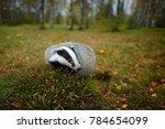 wild badger  meles meles ... | Shutterstock . vector #784654099