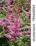Small photo of Garden flowering with pink astilbe plants in bloom.