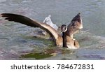 Image Of A Canada Goose Landin...