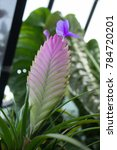 Small photo of Pink Quill (Wallisia Cyanea) also Known as Tillandsia Cyanea, Tropical Plant in Bloom