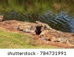 green iguana  scientifically... | Shutterstock . vector #784731991