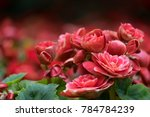 Spring Scenes Of Red Begonia...