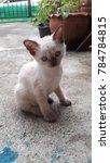 Stock photo cute siamese kitten 784784815