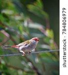 red browed eye  birdwatching ... | Shutterstock . vector #784806979