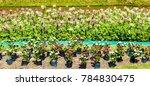 purple pink  cosmos flowers in... | Shutterstock . vector #784830475