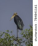 Small photo of Greater Adjutant Stork perched on a top of a tree