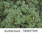portulaca oleracea. purslane.... | Shutterstock . vector #784857349