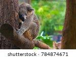 koala bear sleeping | Shutterstock . vector #784874671