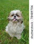 Cute Funny Shih Tzu Breed Dog...