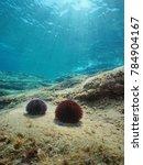sea urchins underwater on a... | Shutterstock . vector #784904167