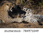 Small photo of A horizontal, croppd, colour photo of two leopards, Panthera pardus, teeth bared in an affectionate altercation in the Greater Kruger Transfrontier Park, South Africa.