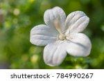 single flower of white capanula ... | Shutterstock . vector #784990267